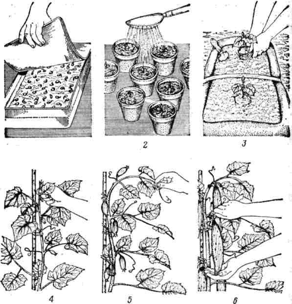 Агротехника выращивания огурца