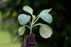 Хранение рассады капусты