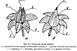 Схема строения цветка томата