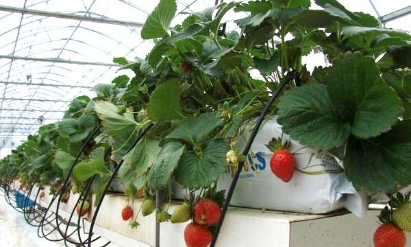 выращивание клубники в трубах вертикально в теплице