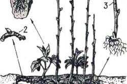 Посадочный материал малины