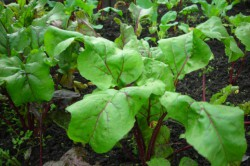 Чтобы свекла выросла полезной, не следует удобрять почву химическими удобрениями.