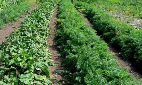 Овощеводство по Митлайдеру