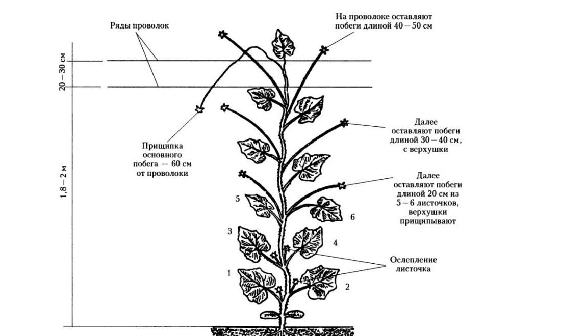 Выращивание огурцов в теплице и открытом грунте: рассадой, из ...