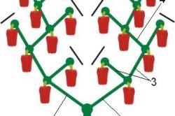 Схема последовательности формирования побегов перца