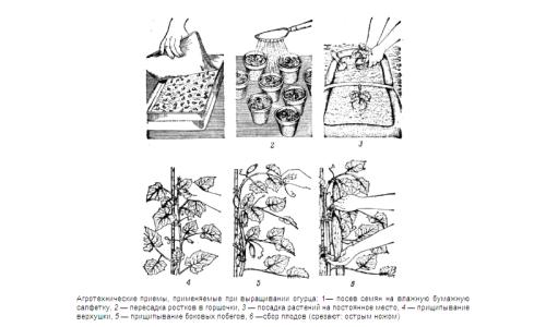 Агротехнические методы для выращивания огурцов