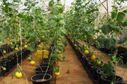 Выращивание алтайской дыни в парнике