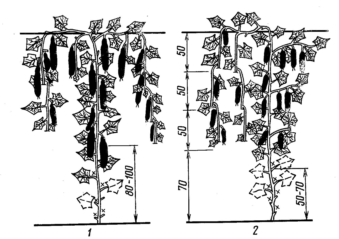 растений, пасынкование огурцов в картинках данной процедуры вызвана