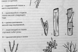 Окулировка розы на шиповнике