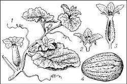 Биологические особенности дыни
