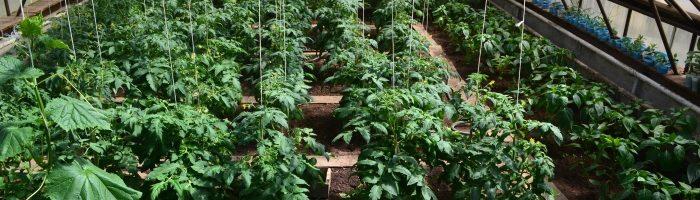 агротехника выращивания помидоров в теплице