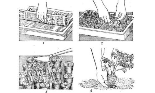 Посев семян помидоров и пикировка сеянцев