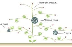 Схема формирования куста арбуза.