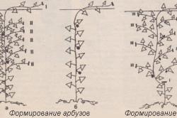 Схема формирования арбузов и дынь