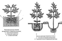 Схема пересадки и высадки рассады томатов