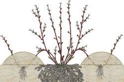 Размножение роз отводками