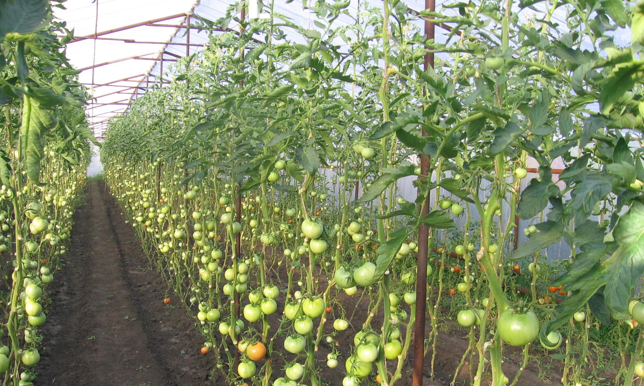 перед посадкой в теплицу помидоры