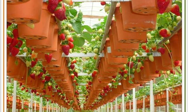 выращивание земляники в теплице